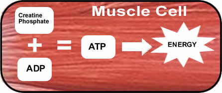 cp-adp-atm-contraction-muscle