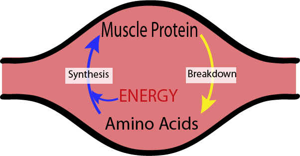 很簡單的圖解肌肉如何生長