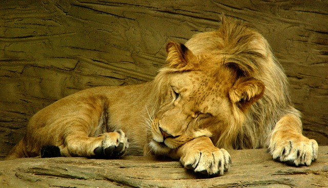 lion-sleeping-601947_640