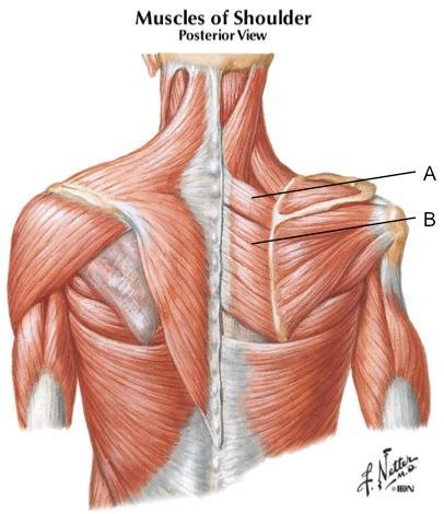 A:小菱形肌/B: 大菱形肌