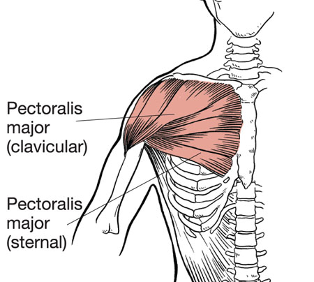 ChestMuscles