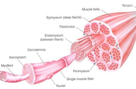 muscle_anatomy11
