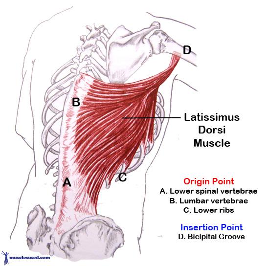 latissimus-dorsi
